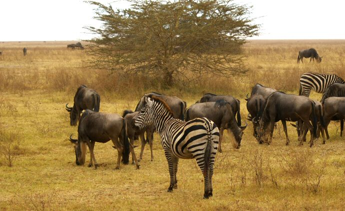 Wildebeast and zebra in Tanzania